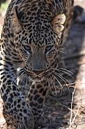 African Leopard