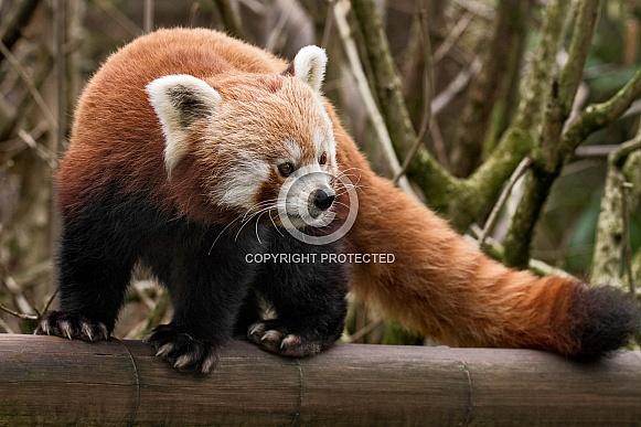 Red Panda Full Body Shot