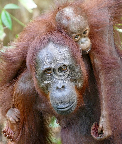 Wild mother and baby Orangutans