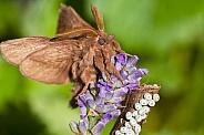 Drinker moths