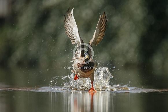 Wild Duck starts flying