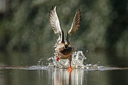 Wild Duck starts flying
