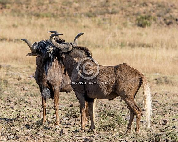 Two Black Wildebeest