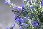 Small hummingbird by the purple flowers