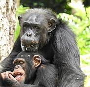 Mother & Baby Chimpanzee
