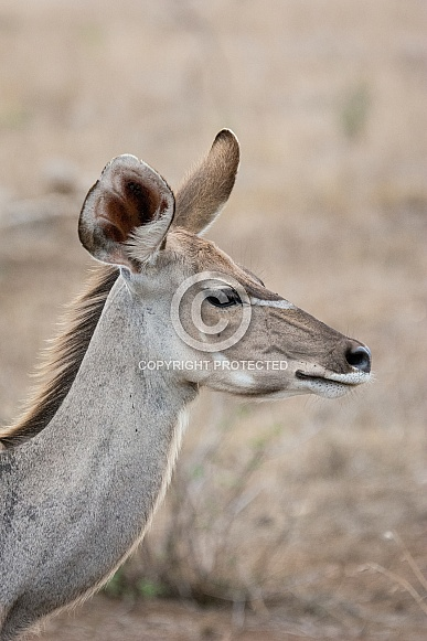 Greater Kudu Cow