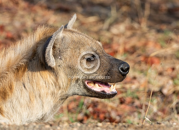 Female Spotted Hyena