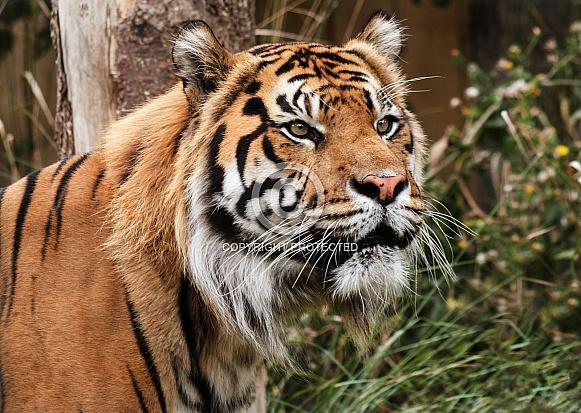 Close up of tiger