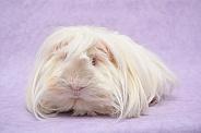 Peruvian Guinea Pig