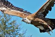 Griffon vulture in flight, close up, side shot