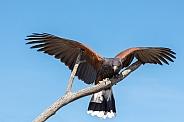 Harris's Hawk Landing #6