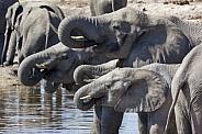 African Elephants - Botswana