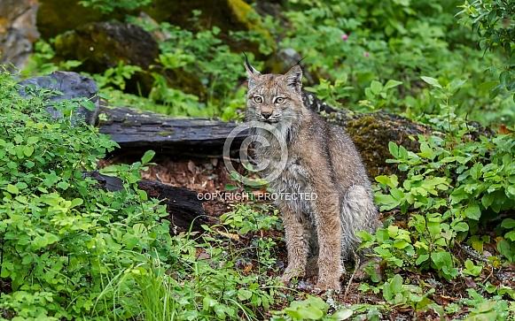 Juvenile Canada Lynx in Montanat