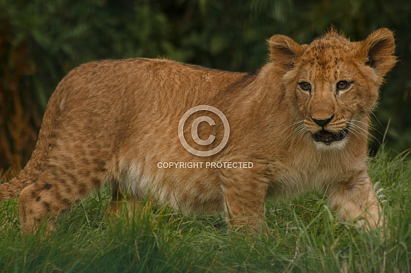 Lion Cub Full Body Shot Walking