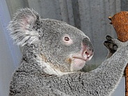 Koala Profile Portrait