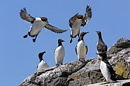 Guillemot Colony - Lunga - Scotland