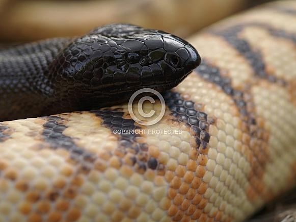 Black-Headed Python