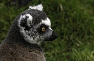 Ring Tailed Lemur Head Shot Side Profile