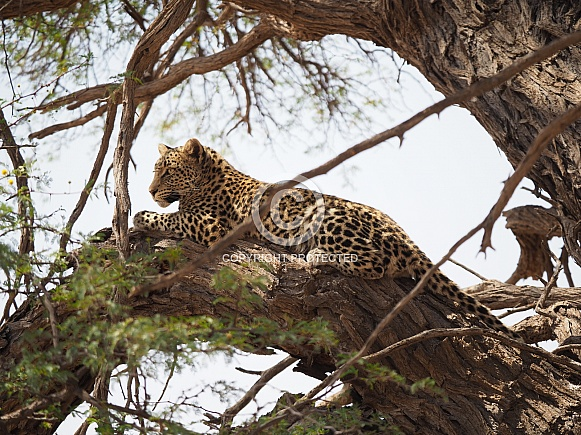 African Leopard -  Mofhenyi Kgalagadi Transfrontier Park
