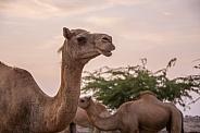 Omani Dromedary Camels