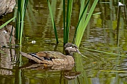 North American Wood Duck - Hen