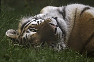 Amur Tiger Lying On Back Looking At Camera