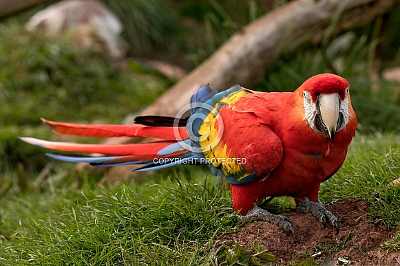 Scarlet Macaw Walking On Grass