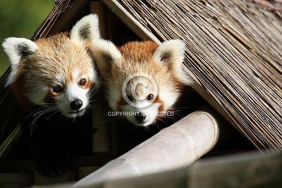 Male and Female Red Panda Peeking From Hut
