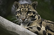 Clouded Leopard High Up