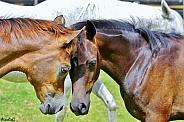 Arabian Foals Meet