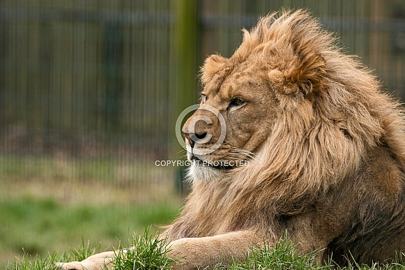 African Lion Male Side Profile