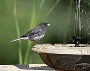 Dark-eyed Junco at the Birdbath