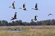 Saddlebilled Storks - Savuti - Botswana