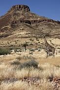 Giraffe - desert landscape - Damaraland - Namibia
