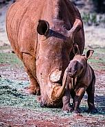 White Rhino mother and calf