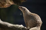 Zebra Mongoose