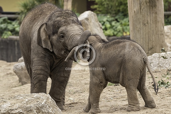 Asiatic Elephant Calves Playing Together