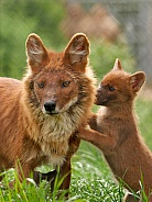 Chinese Dhole