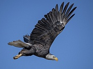 Adult bald eagle flying against the sky