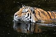 Siberian tiger swimming