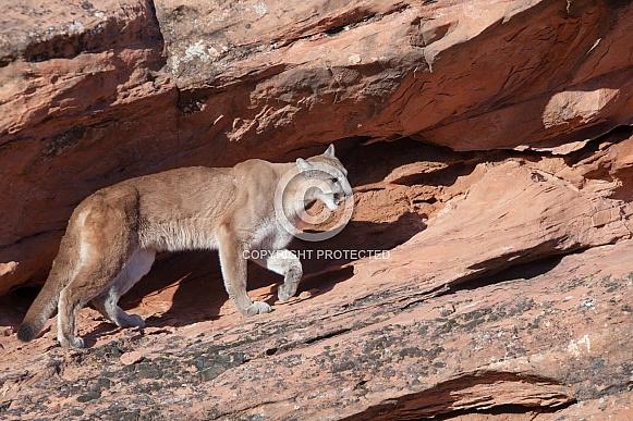 Mountain lion, cougar, puma concolor
