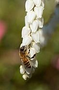 Honey bee (wild).