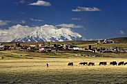 Bolivian woman with herd of cattle - Bolivia