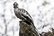 Von Der Deckens Hornbill