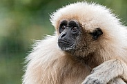 Lar Gibbon Looking Up