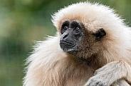 Lar Gibbon Looking Up