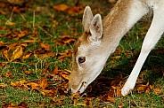 Female Fallow Deer Portrait
