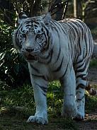 White Tiger Walking