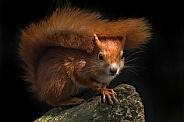Red Squirrel Full Body Shot Looking At Camera
