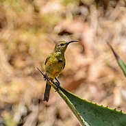 Juvenile Orange-breasted Sunbird